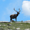 A bull elk on Rocky Mountain National Park's Trail Ridge Road Friday, June 28, 2013. (Photo submitted by Kathie Dolce)