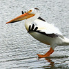 A pelican photographed by Gary Kirchner at Golden Ponds in May. (Photo submitted by Gary Kirchner)