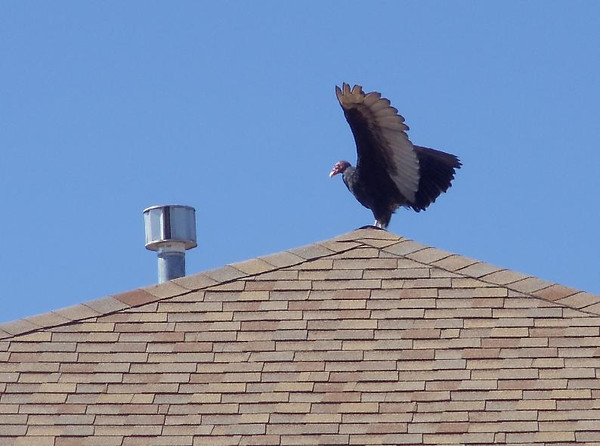 """A turkey vulture sits on top of a house recently along Rider Ridge Court, near Ninth Avenue and Pace Street. """"I didn't lay down long to take this picture in case the vulture thought I was dead and decided to eat me,"""" Phyllis Smith said. (Photo submitted by Phyllis Smith)"""