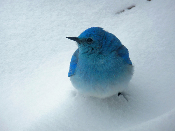 A bluebird on the deck of Debbie Schlosser's Berthoud home during the Saturday March 23, 2013 snowstorm. (Photo by submitted by Debbie Schlosser)