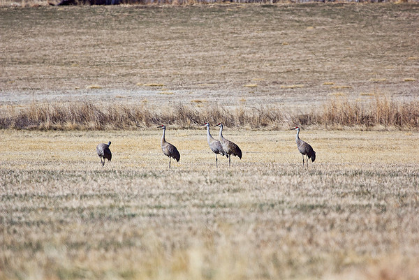 Migrating Sand Hill Cranes, early Easter Morning, near Airport<br /> and Hygiene Roads. (Photo submitted by J.Stennette Photography)