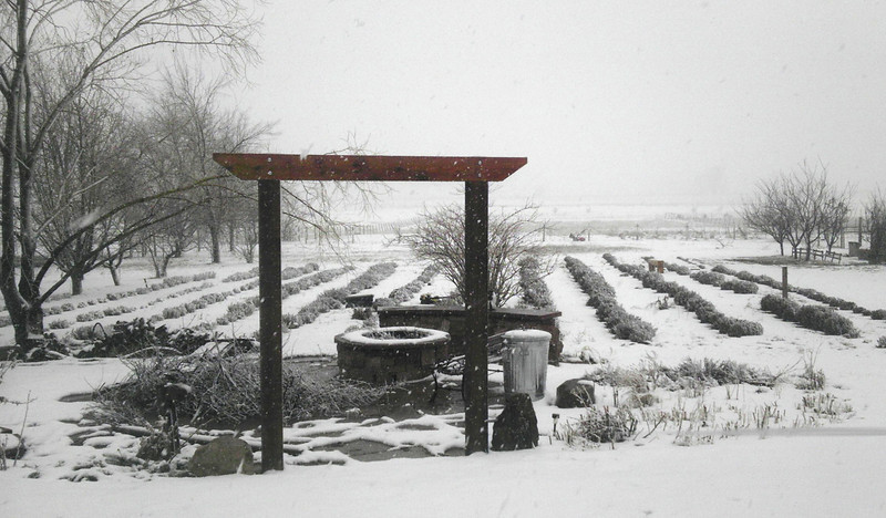 Lavender gets a much-needed watering at the Colorado Aromatics farm north of Longmont during the March 9th snowstorm. (Photo submitted by George Wahl)