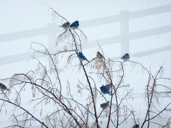 Bluebirds make a spring migration stopover at a house west of Berthoud during the snowstorm Saturday March 23, 2013. (Photograph submitted by Debbie Schlosser)