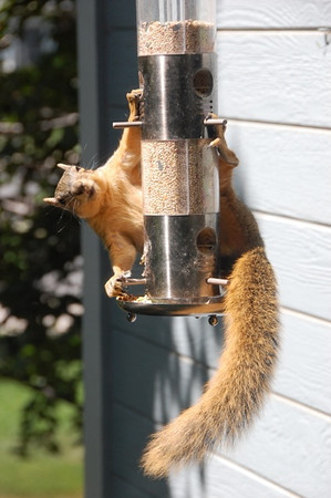 Longmont resident John Ogle says he almost feels sorry for the squirrels whose efforts are thwarted by a new bird feeder that prevents them from getting to the bird seed. (Photo submitted by John Ogle)