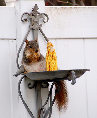 A squirrel in a back yard eats from an ear of corn. (Photo submitted by Dana Schnorr)