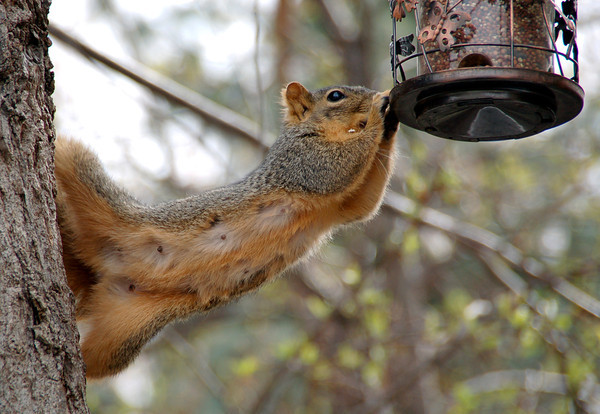 A squirrel helps itself to the seed in a bird feeder. (Photo submitted by Dana Schnorr)