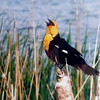 A yellow-headed blackbird perches itself on a cattail recently at Jim Hamm Lake. (Photo submitted by Jeff Gauthier)