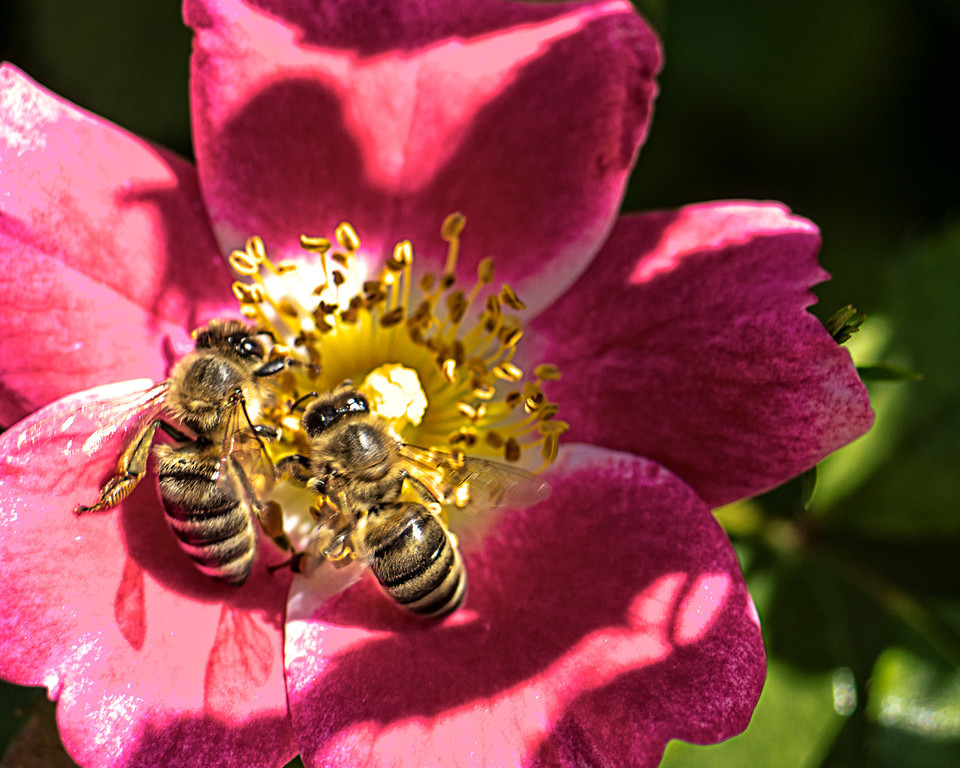 Times-Call contributor Dean Hendrickson captured a pair of bees in the Longmont Memorial Rose Garden at Roosevelt Park. (Photo submitted by Dean Hendrickson)