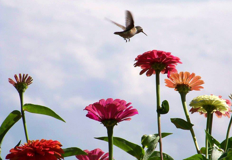 A hummingbird visits zinnias in a backyard near Twin Peaks Golf Course, shortly before migration, on a late August morning. (Photo submitted by Jeff Gauthier)