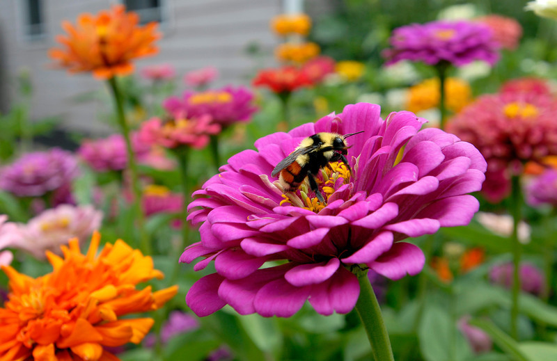 20090813_ZINNIAS_FLOWERS_BEE
