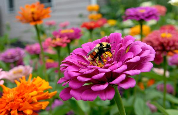 20090813_ZINNIAS_FLOWERS_BEE