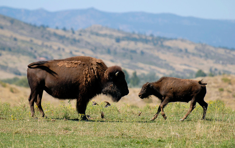 20100825_RMH_BISON_BUFFALO