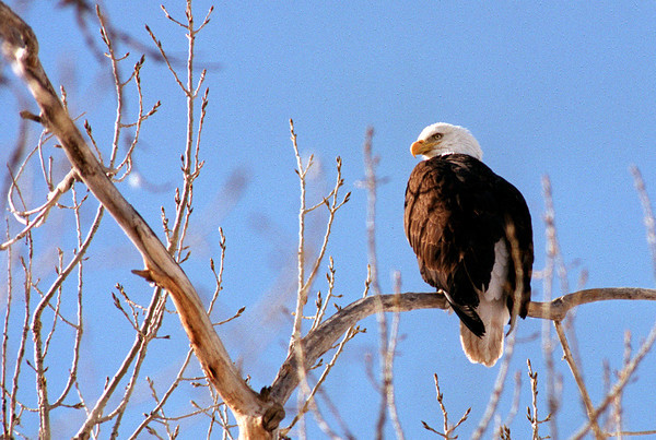 20030225_UNION_BALD_EAGLE