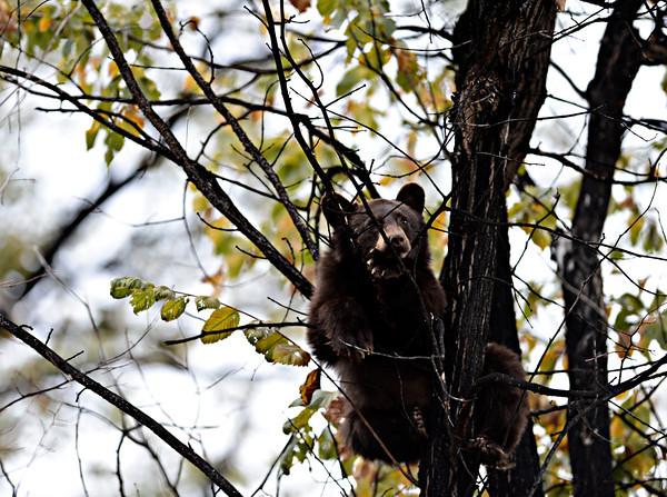 Longmont Bear