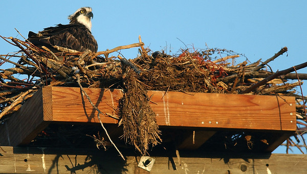 20040331_NEW_OSPREY_NEST_1