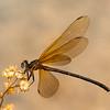 Odonata / Damselfly
