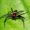 Synema globosum, Napolean Spider,