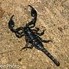 Scorpion, Heterometrus spinifer, Scorpionidae,