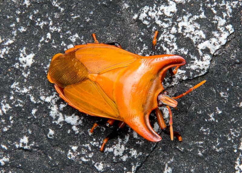 Tessaratomidae, (large family),  bug,