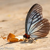 Butterfly /  Brush-footed