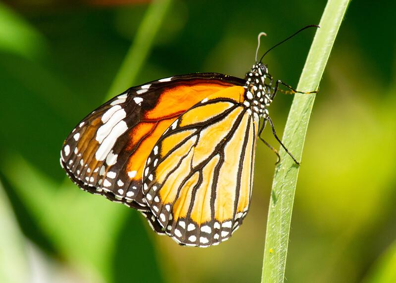 Common Tiger,