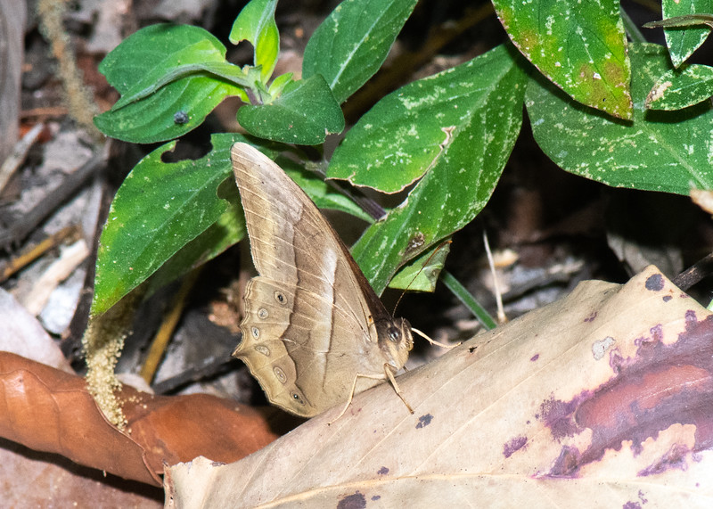Butterfly / Brushfoot / Brown