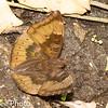 Butterfly / Brushfoot / Admirals & Relatives