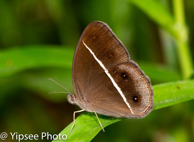 Dark Grass-Brown, Orsotriaena Medus, Common, (Nigger),