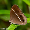 Dark Grass-Brown, Orsotriaena Medus, Common, (Nigger),