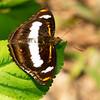 Butterfly / Admirals & Relatives