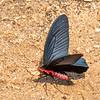 Butterfly / Swallowtail