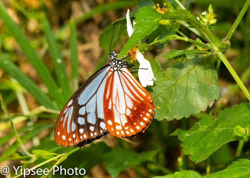 Butterfly / Brushfoot / Milkweed