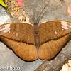 Butterfly / Brushfoot/ Admirals & Relatives