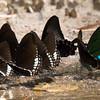 Siamese Raven Group