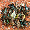 Mixed Group Butterfly