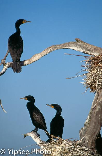 Cormorants, BC