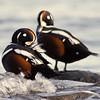 Harlequin Ducks, BC