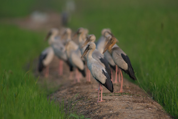 Thai Birds