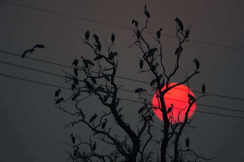 Large birds (Open Bill Storks), in a large dead tree, with the (large) sun setting.