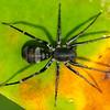 Diacamma vargens, Ant, (Ant spider?),