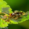 Braconid Wasp, ? , Dermaptera