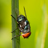 Insect / Diptera