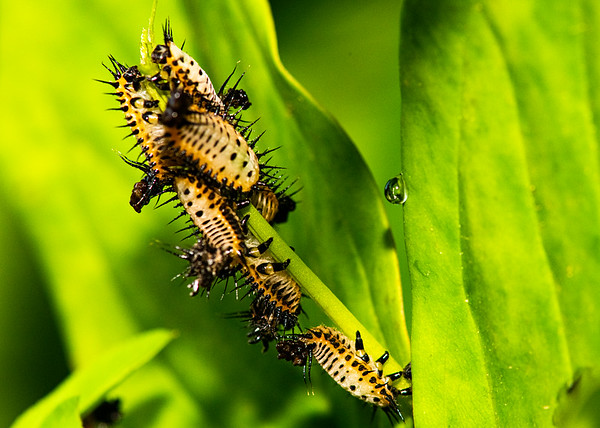 Insect Nymphs