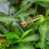 Thailand Flower Mantis, Praying Mantis, Creobroter gemmatus,