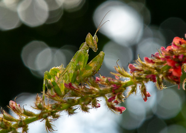 Mantis - Stick Insects
