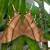 tropical Swallowtail Moth, Lyssa zampa,