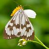 White Tiger Moth, Day Flying Moth, Nyctemera coleta,