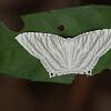 Moth,
