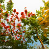 Yellow Golden Rain and Red Poinciana Flowers