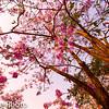 Pink Shower Tree